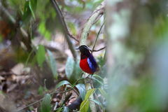 Black-headed pitta Stock Images