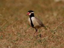 Black headed Plover Stock Images