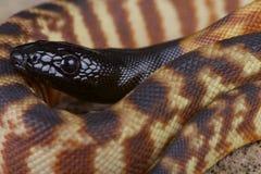 Black-headed python / Aspidites melanocephalus Royalty Free Stock Photography