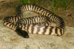 Black-headed Python Royalty Free Stock Image