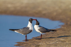 Black headed sea gulls in mating behavior Stock Image