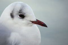 Black-Headed Seagull. Close-up of a black-headed gull on Ruegen Island Stock Photo