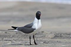 Black headed seagull Royalty Free Stock Photography