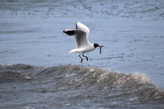 Black Headed Seagull Fishing in the Sea Stock Photos