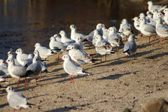 Black headed seagulls on the beach. Group of seagulls resting and foraging by the lake Royalty Free Stock Photo