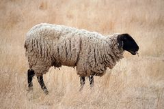 Black Headed Sheep. Standing in Brown Grasses Royalty Free Stock Image