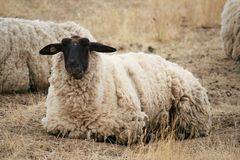 Black Headed Sheep. Sitting in Brown Grasses Stock Photo