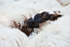 Black headed sheep Royalty Free Stock Image