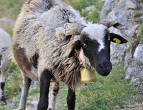 Black-headed sheep Royalty Free Stock Images