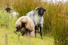 A black headed sheep looking at me royalty free stock image