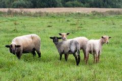 Black headed sheeps Stock Image