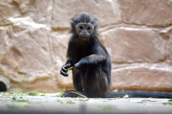 Black-headed spider monkey royalty free stock image