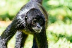 Black-Headed Spider Monkey Stock Image