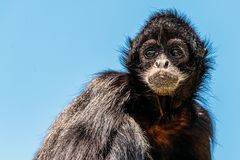 Black-Headed Spider Monkey Royalty Free Stock Photos