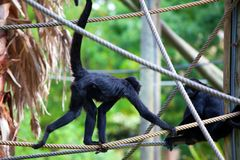Black headed spider monkey . Ateles fusciceps.  Stock Photos
