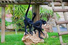 Black headed spider monkey . Ateles fusciceps.  Stock Photo