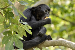Black-headed spider monkey in tree Royalty Free Stock Photography