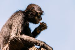 Black-Headed Spider Monkey Royalty Free Stock Photography