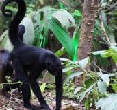 Black headed spider monkey Stock Image