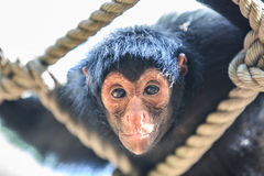 Black-headed spider monkey Through rope look screen,Ateles fusciceps fusciceps Stock Images