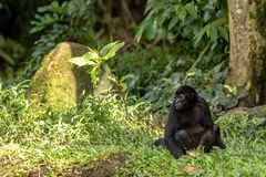 Black-headed spider monkey sits on the ground, looking to the side. royalty free stock photo