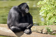 Black-headed spider monkey sitting on a tree trunk Royalty Free Stock Photography