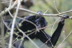 Black-headed spider monkey Stock Photo