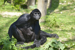 Black-headed spider monkey Stock Photo