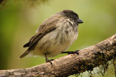 Black Headed Tree Finch - Galapagos Royalty Free Stock Photos