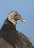 The black headed vulture Royalty Free Stock Photo