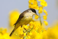 Black headed wagtail Stock Images
