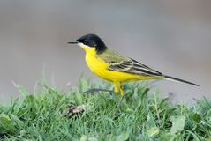 Black headed wagtail on the grass Royalty Free Stock Photography