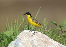 Black headed Wagtail. Male Black headed Wagtail at Kalloni Salt Pans ,Lesvos royalty free stock images