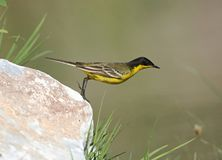 Black headed Wagtail. Male Black headed Wagtail at Kalloni Salt Pans ,Lesvos royalty free stock photos