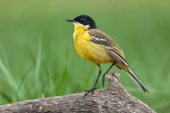 Black-headed Wagtail Royalty Free Stock Photo
