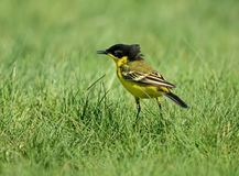 Black headed wagtail with mane. Royalty Free Stock Photography