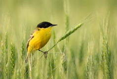 Black-headed wagtail in wheat farmland Royalty Free Stock Images