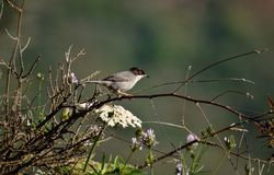 Black headed warbler Royalty Free Stock Photography