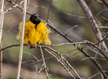 Black headed Weaver Royalty Free Stock Photos