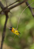 Black headed Weaver hanging from branch Stock Photography