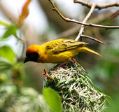 Black-headed weaver on a tree branch Royalty Free Stock Photo