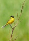 Black headed western yellow wagtail. Motacilla flava feldegg perched on a twig Royalty Free Stock Photo