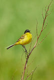 Black headed western yellow wagtail Royalty Free Stock Photo