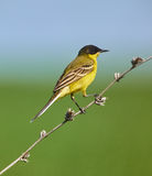 Black headed western yellow wagtail Stock Image