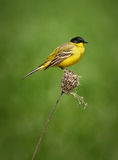 Black headed western yellow wagtail. Motacilla flava feldegg perched on a twig royalty free stock photography