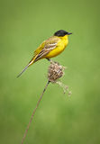 Black headed western yellow wagtail Royalty Free Stock Photos