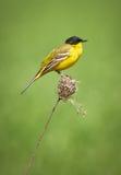 Black headed western yellow wagtail. Motacilla flava feldegg perched on a twig Royalty Free Stock Photos