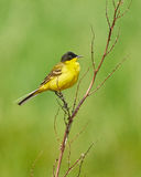 Black headed western yellow wagtail Stock Photos