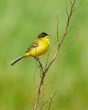 Black headed western yellow wagtail. Motacilla flava feldegg perched on a twig Stock Photos