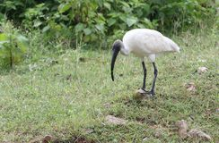 Black headed white ibis Stock Photography